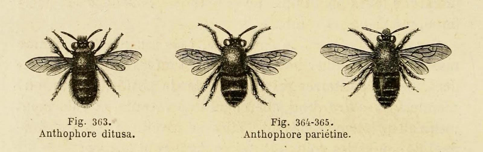 Honey Bee Scientific Drawing