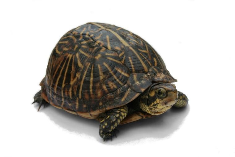 Florida_Box_Turtle_Digon3_re-edited